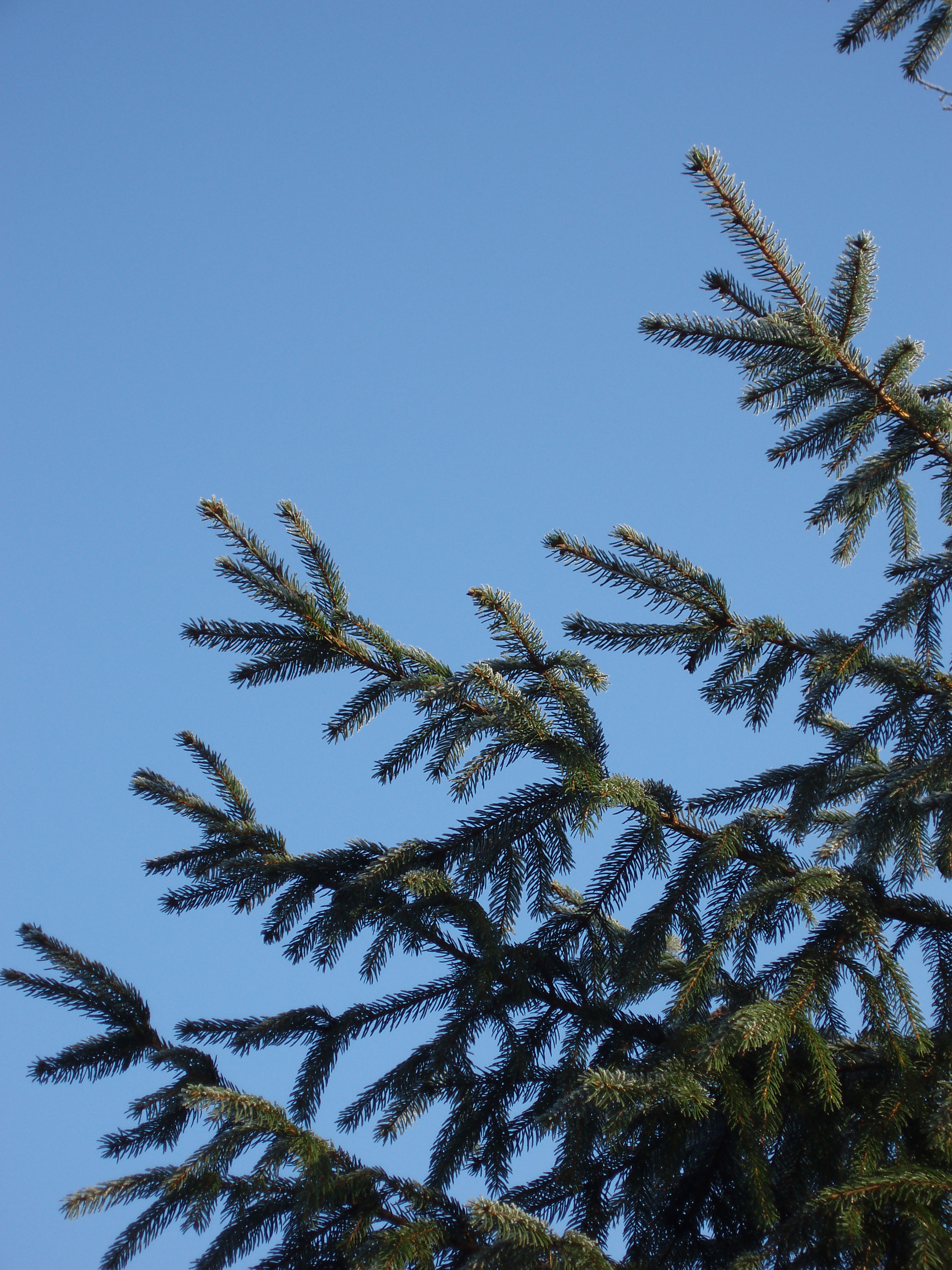 a pine tree outdoor, ready to be chopped down for christmas?