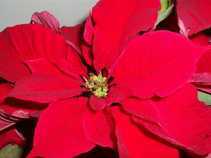 Photo Of Poinsettia Free Christmas Images