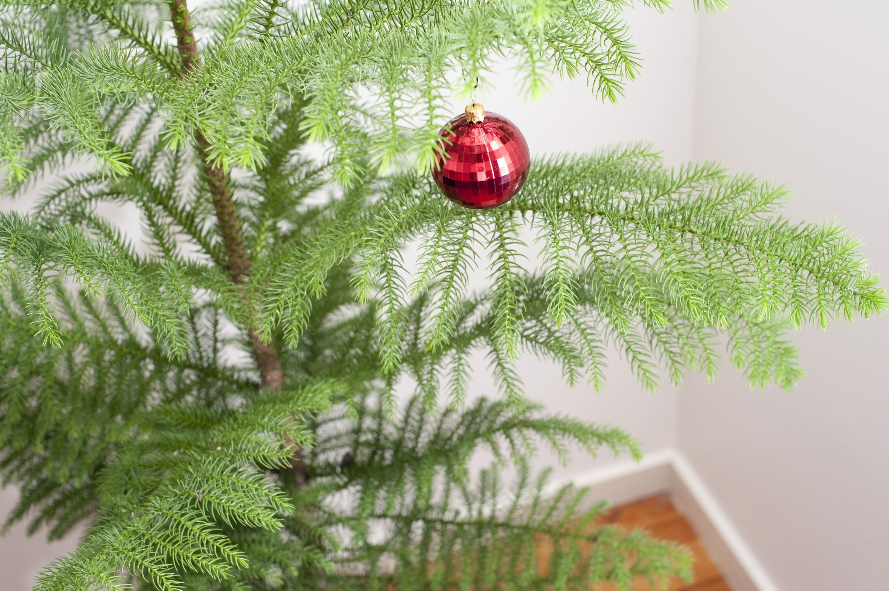 Photo Of Pine Christmas Tree With A Red Bauble